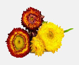 HelichrysumG